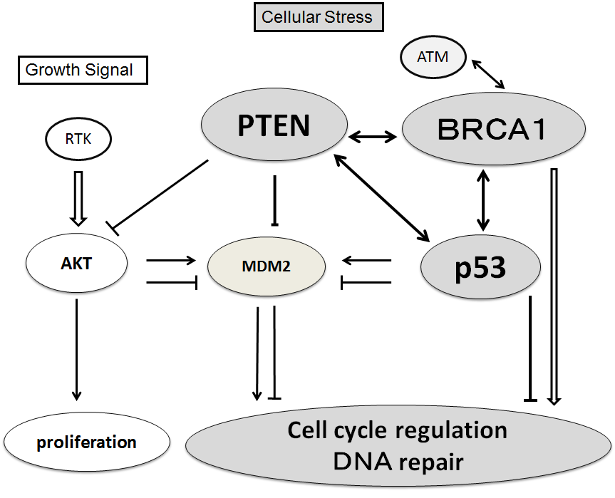 Cell Cycle Regulation Via The P53 Pten And Brca1 Tumor Suppressors