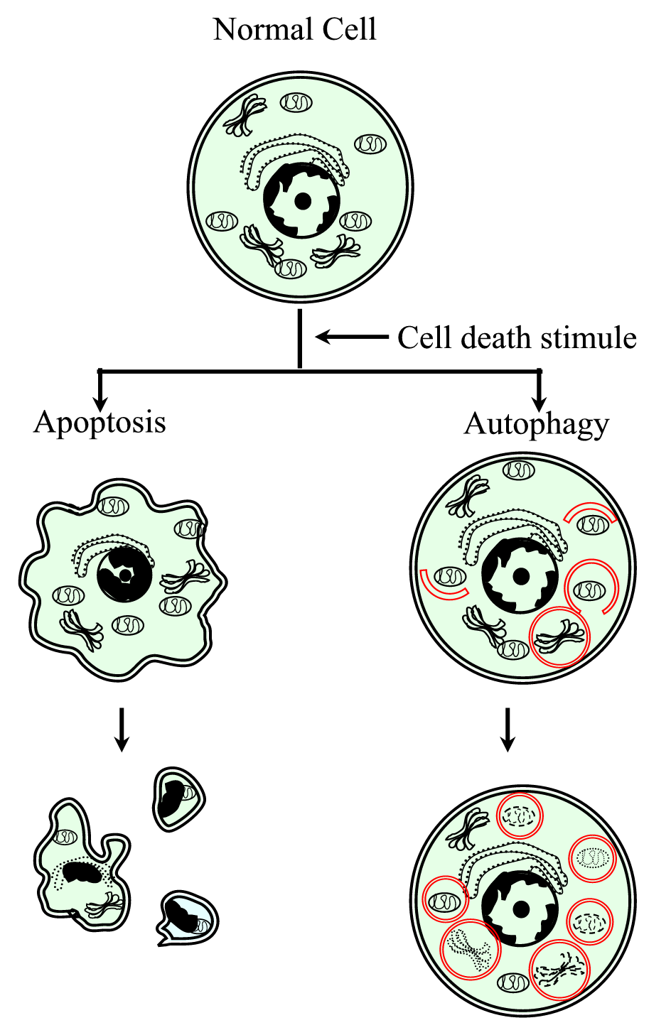 Necrosis as Programmed Cell Death | IntechOpen