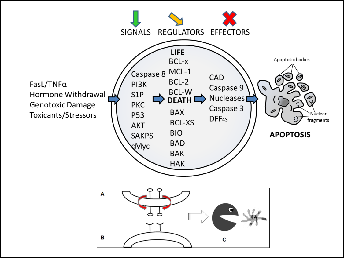 the role of autophagy and apoptosis during embryo