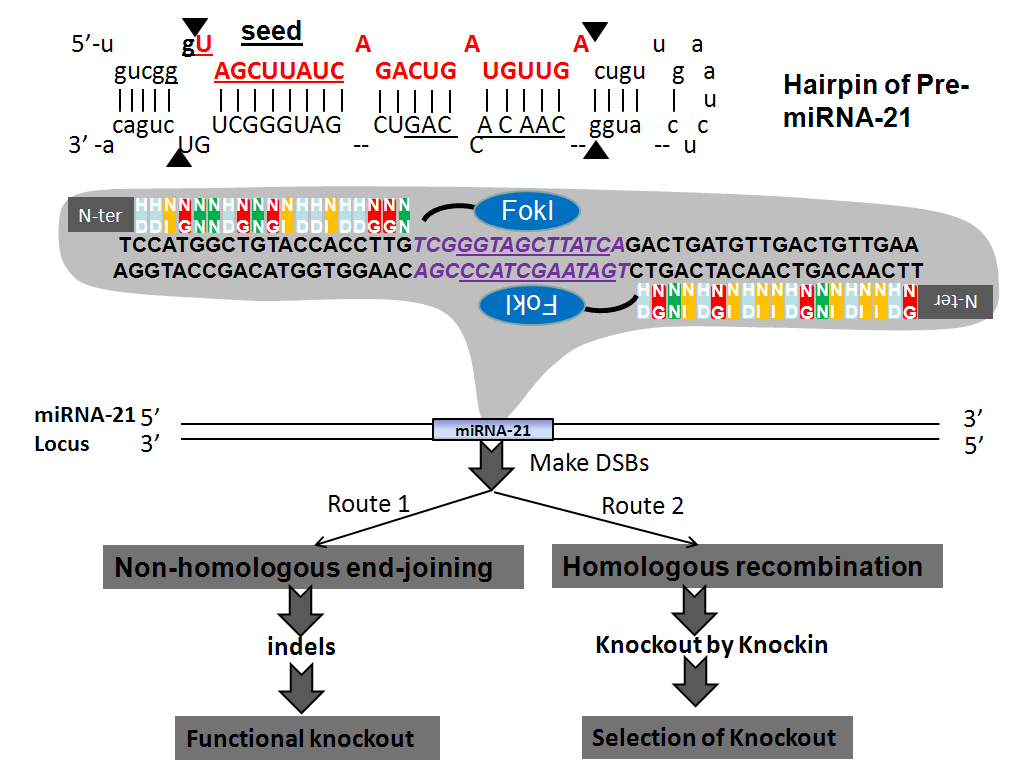 Application of Genome Editing Technology to MicroRNA Research in