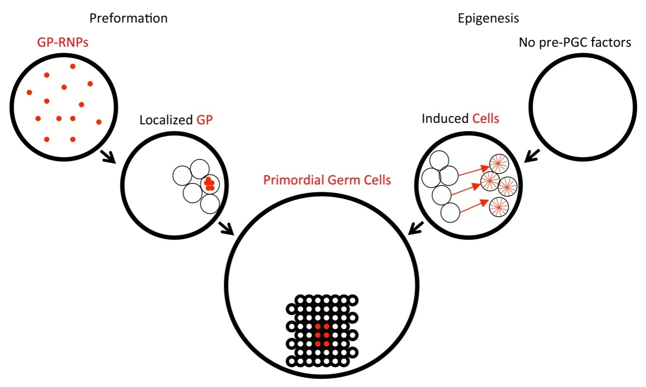 germ cell determinant transmission  segregation  and