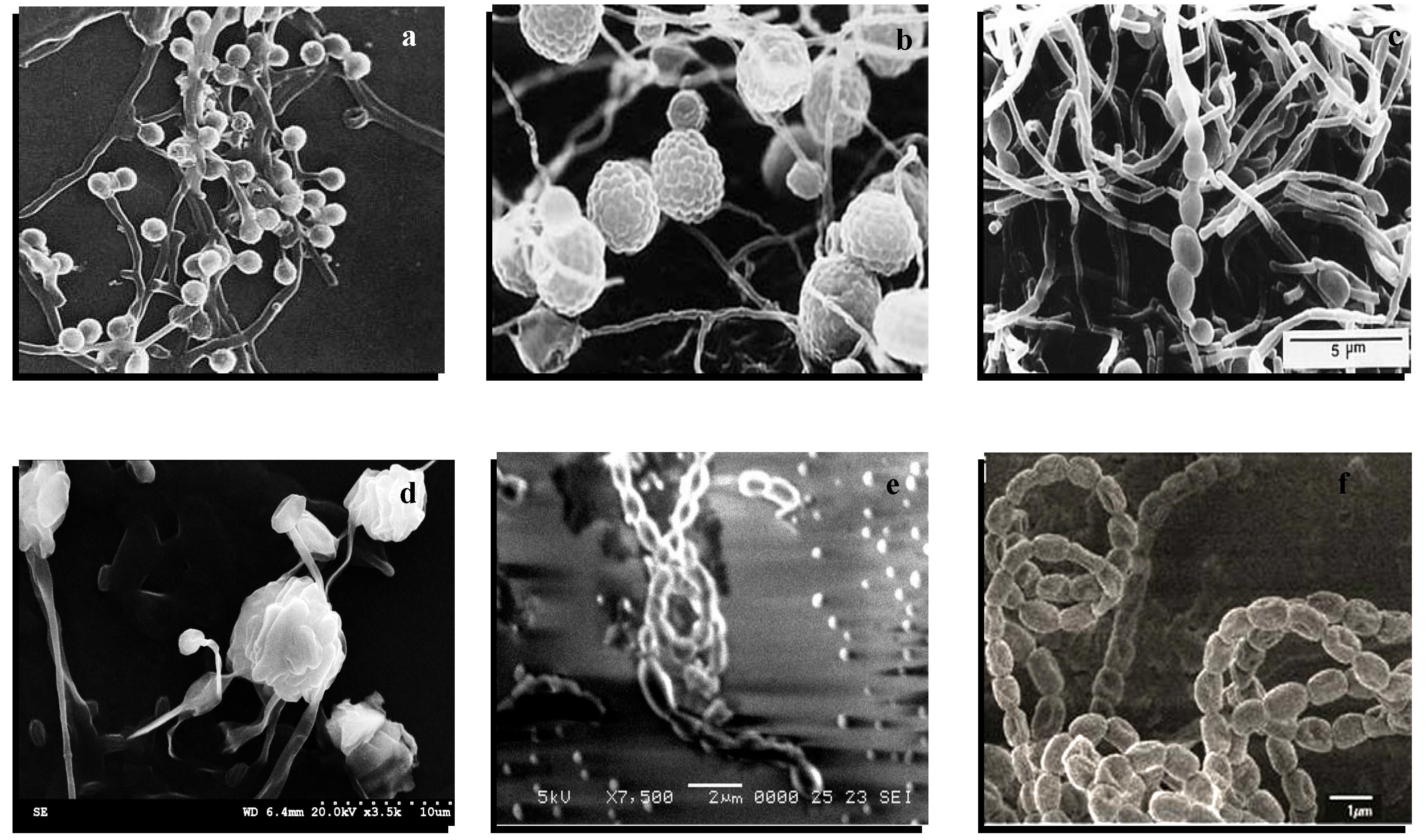 An Introduction to Actinobacteria   IntechOpen