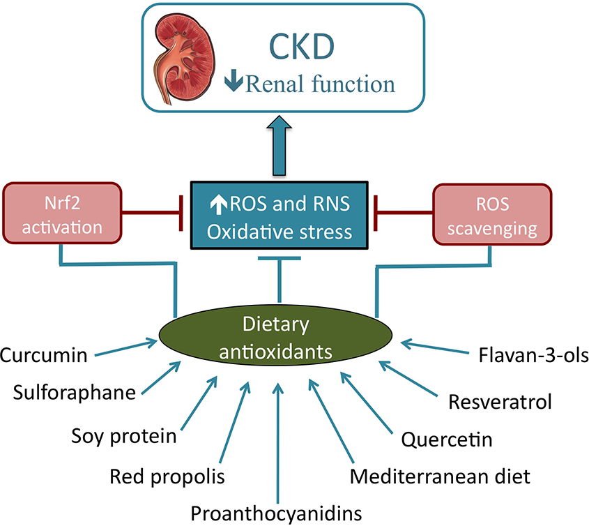 Role Of Dietary Antioxidant Agents In Chronic Kidney Disease