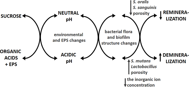 The Role of Human Oral Microbiome in Dental Biofilm
