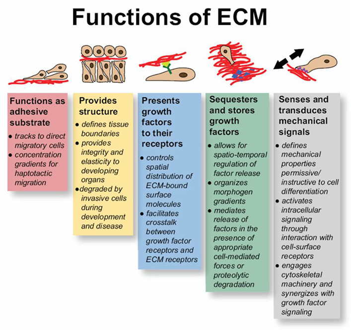 Is Extracellular Matrix a Castle Against to Invasion of Cancer Cells