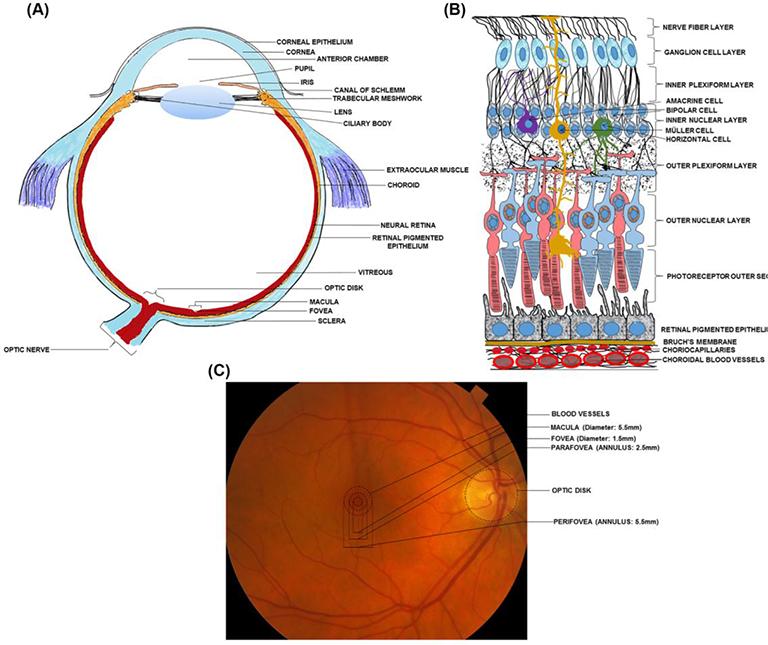 Autophagy in Ocular Pathophysiology   IntechOpen