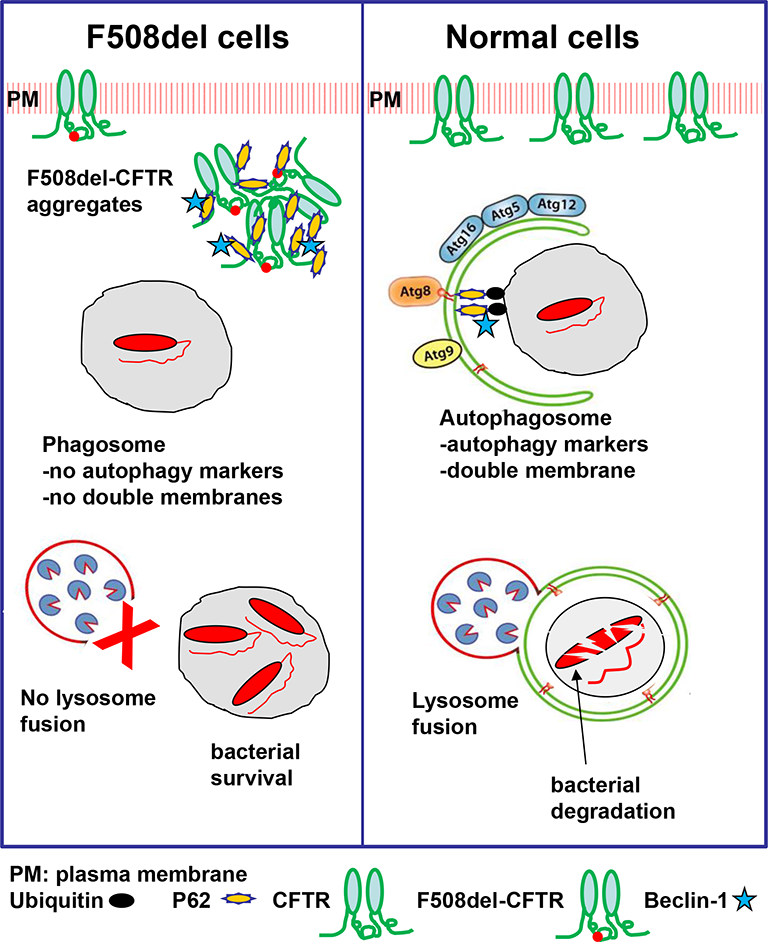 Autophagy in Cystic Fibrosis Pathogenesis and Treatment | IntechOpen
