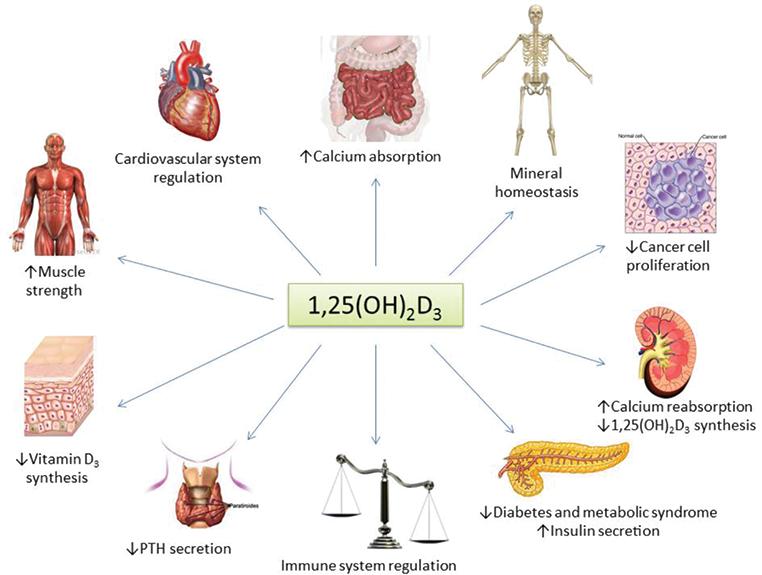 Skeletal And Extraskeletal Benefits Of Vitamin D Intechopen. Wiring. Homeostasis Diagram Of Vit D At Scoala.co