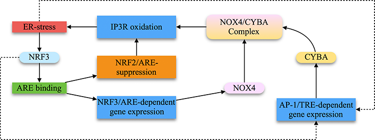 Feed-Forward and Feed-Back Circuits of the NRF2/AP-1