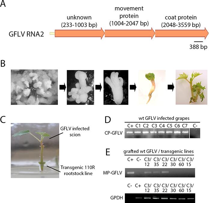 Grapevine Biotechnology: Molecular Approaches Underlying