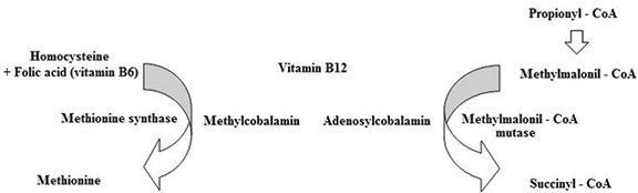 Vitamin B12: Could It Be a Promising Immunotherapy?   IntechOpen