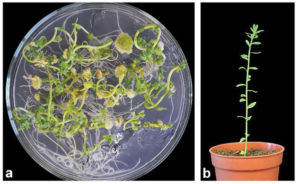 New Approaches to Agrobacterium tumefaciens-Mediated Gene Transfer