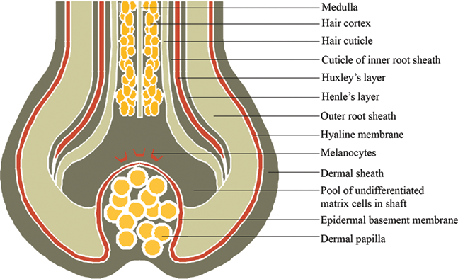 Anatomy and Physiology of Hair | IntechOpen