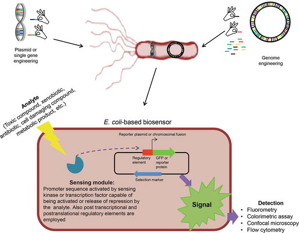 Escherichia coli as a Model Organism and Its Application in