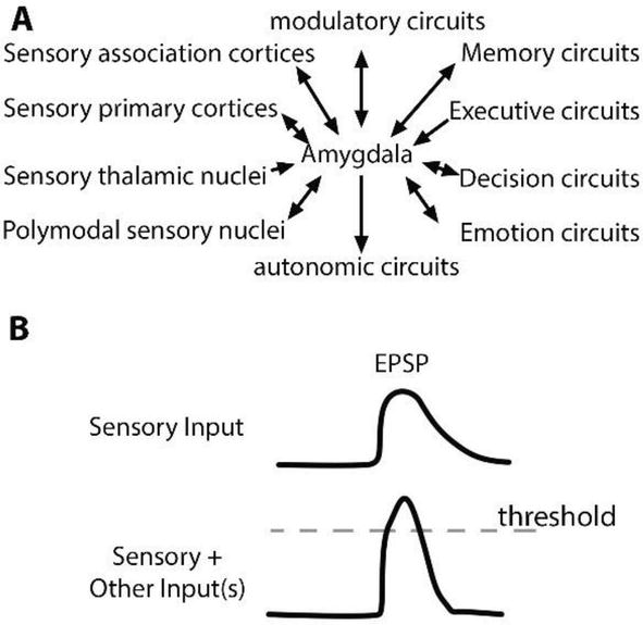 Brain Circuits For Successful Emotional >> Looping Circuits Amygdalar Function And Interaction With Other