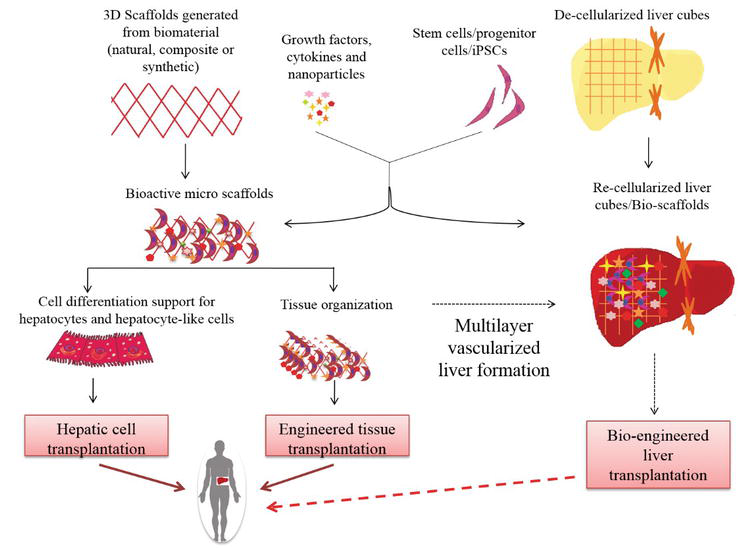 Regenerative Medicine in Liver Cirrhosis: Promises and