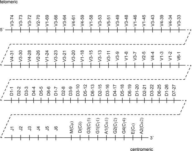 Somatic Hypermutational Status and Gene Repertoire of