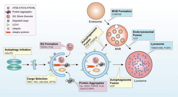 Autophagy-Lysosome Dysfunction in Amyotrophic Lateral