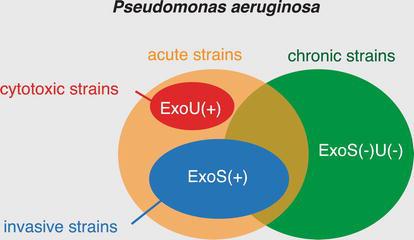 Anti‐PcrV Immunization for Pseudomonas aeruginosa Pneumonia in