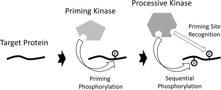 Biological Consequences Of Priming Phosphorylation In