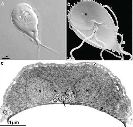 giardiasis hélix