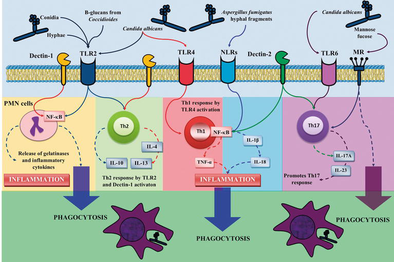 Immune System May Play Crucial Role In >> Physiology And Pathology Of Innate Immune Response Against