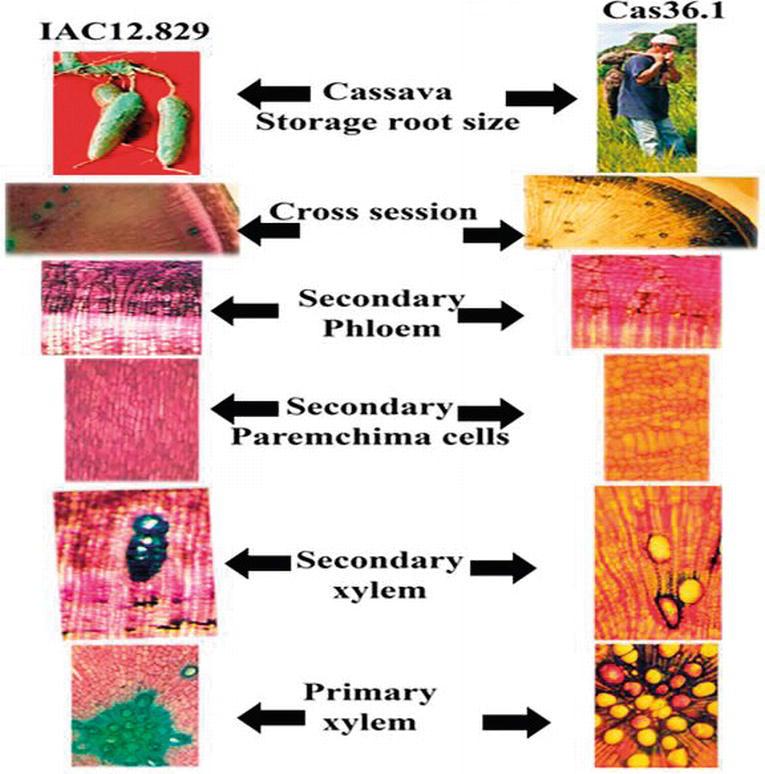 Storage Root of Cassava: Morphological Types, Anatomy