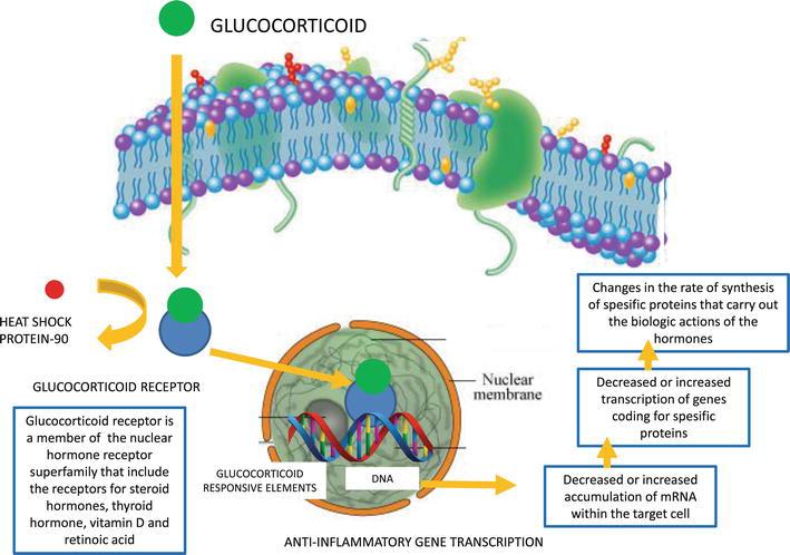 steroid induced leukocytosis mechanism