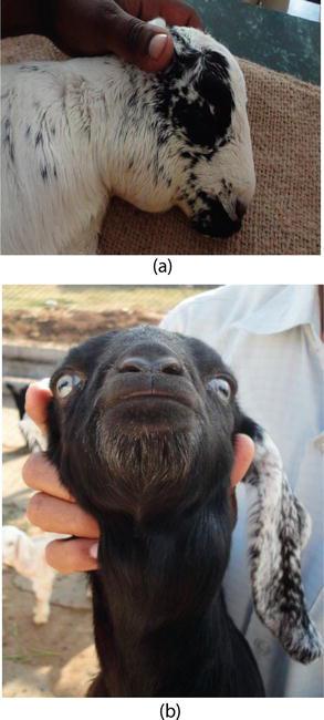 Iodine Deficiency in Goats | IntechOpen