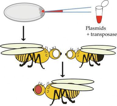 The Fruit Fly Drosophila Melanogaster The Making Of A Model Part