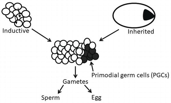 Germ Cell Specification: The Evolution of a Recipe to Make