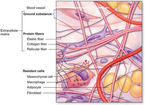 The Role Of Extracellular Matrix In Tissue Regeneration Intechopen