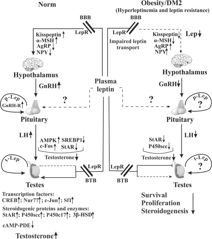 The Regulation of the Male Hypothalamic-Pituitary-Gonadal Axis and