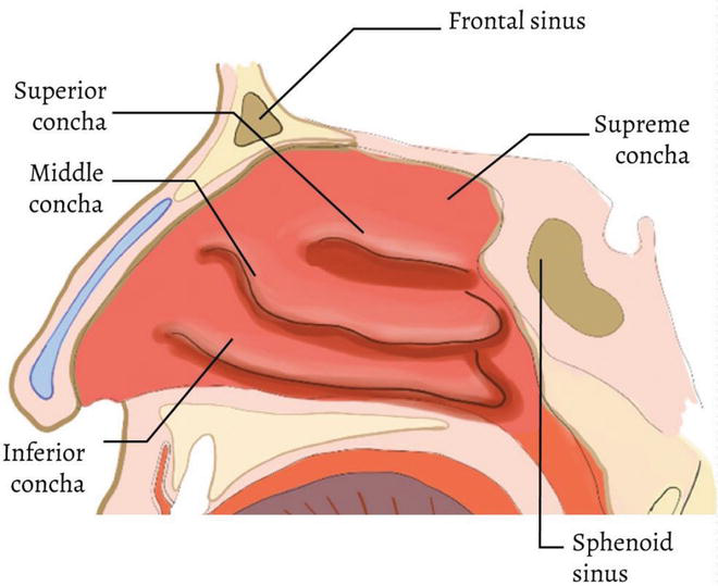 Functional Anatomy And Physiology Of Airway Intechopen