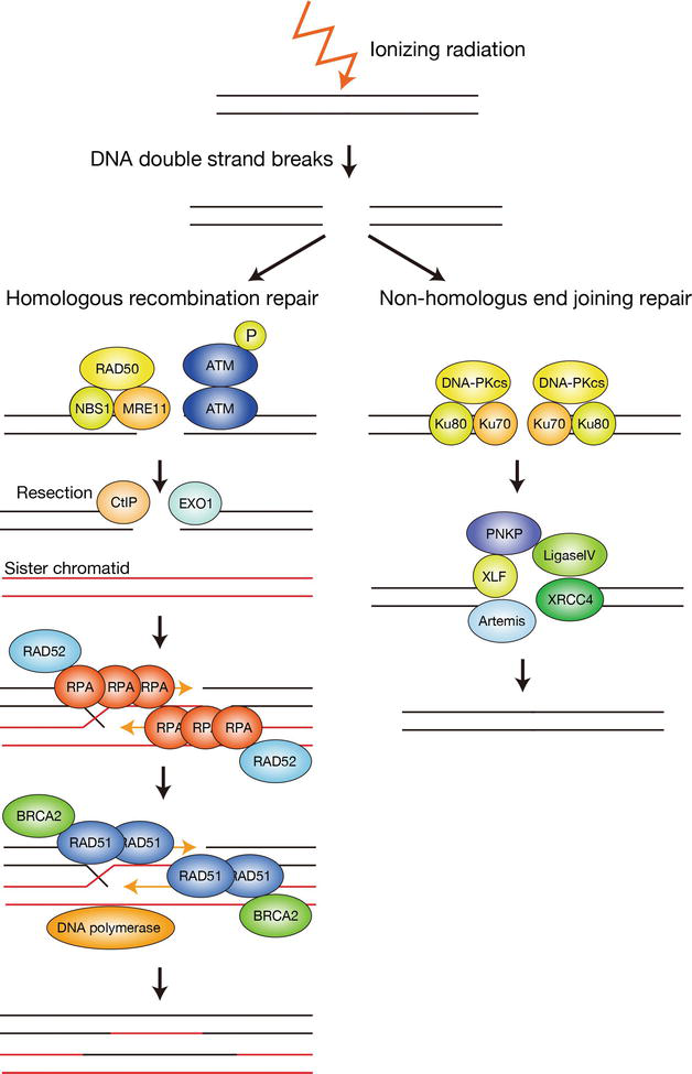 Maintenance of Genome Stability by Ubiquitination of DNA ...