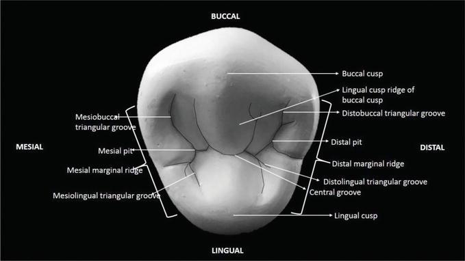 The Permanent Maxillary and Mandibular Premolar Teeth