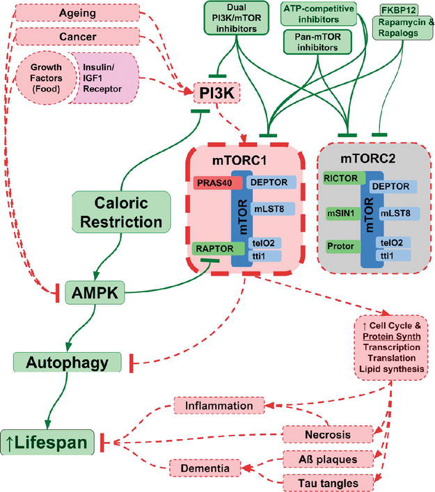 Where and How in the mTOR Pathway Inhibitors Fight Aging: Rapamycin