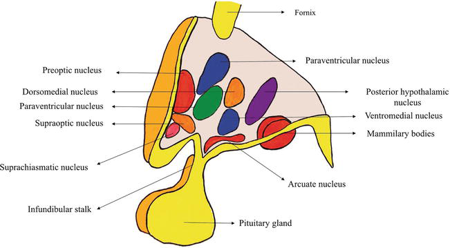 Anatomy And Function Of The Hypothalamus Intechopen