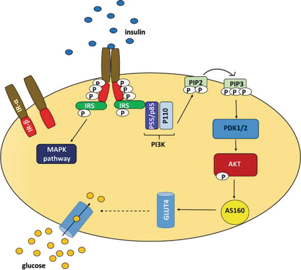 Role of PI3K/AKT Pathway in Insulin-Mediated Glucose Uptake | IntechOpen