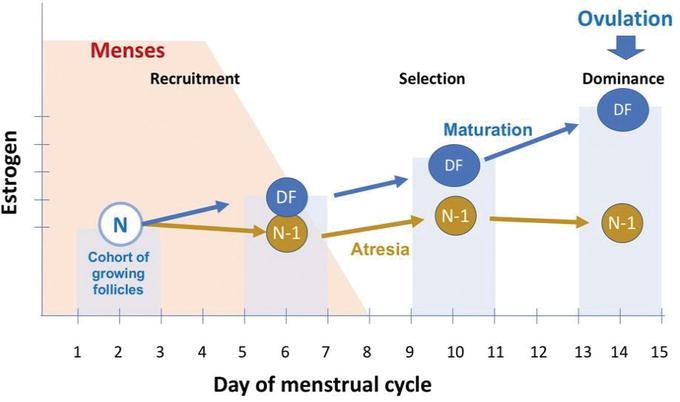 Normal Menstrual Cycle | IntechOpen