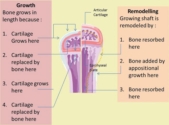 Bone Development and Growth | IntechOpen