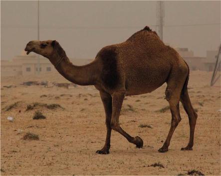 Composition and Properties of Camel Milk | IntechOpen