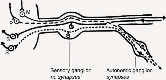 gap junctions in the dorsal root ganglia