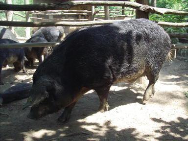 Mangalitsa (Swallow-Belly Mangalitsa) Pig | IntechOpen