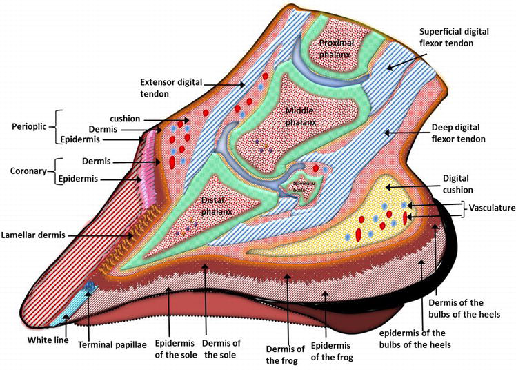The Anatomy  Histology And Physiology Of The Healthy And