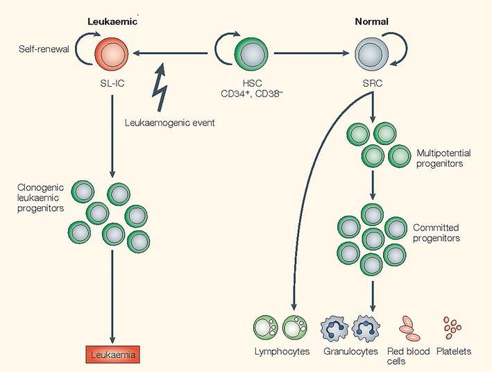 Advances in Acute Myeloid Leukemia Stem Cells | IntechOpen