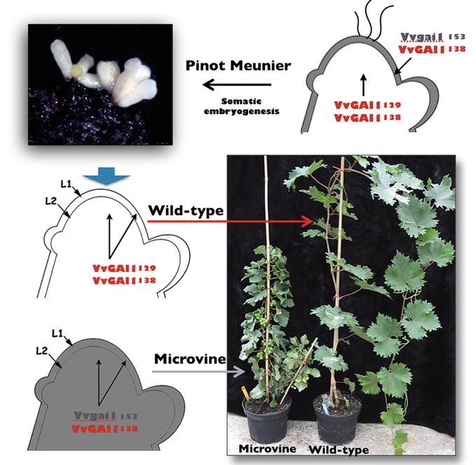The Microvine: A Versatile Plant Model to Boost Grapevine