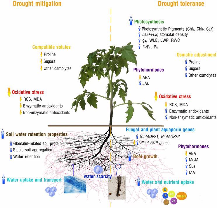Benefits of Arbuscular Mycorrhizal Fungi Application to Crop