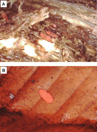 Ecological and Histological Notes on the Luminous Springtail