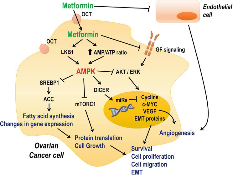 Antitumoral Effects Of Metformin In Ovarian Cancer Intechopen